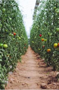 filari di pomodori gialli e rossi orto