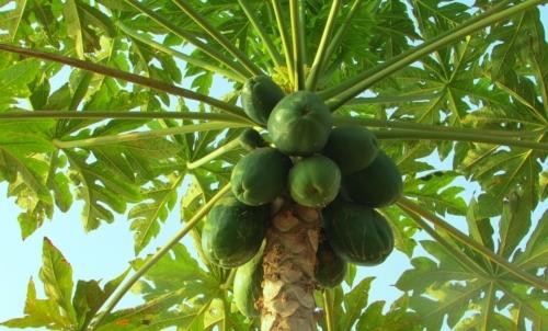 albero, papaya