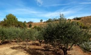 territorio rurale agricoltura ulivi