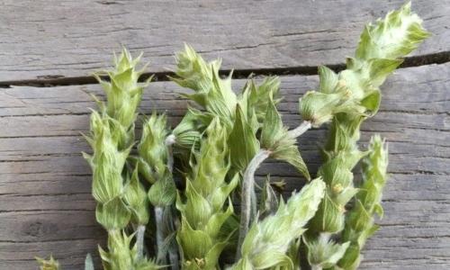 Sideritis Syriaca è una pianta dalle numerose proprietà terapeutiche.