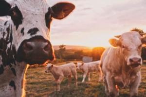 allevamento intensivo mucche pericolo per la biodiversità