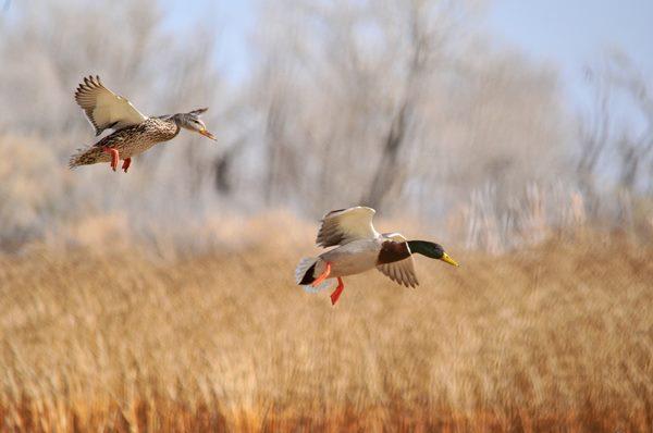 mallard-ducks-1375187-min