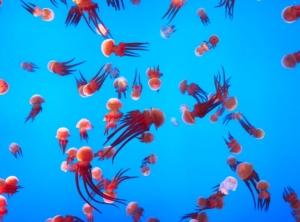 Meduse biodiversità marina in pericolo