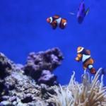 coralli e pesci pagliaccio nel mare