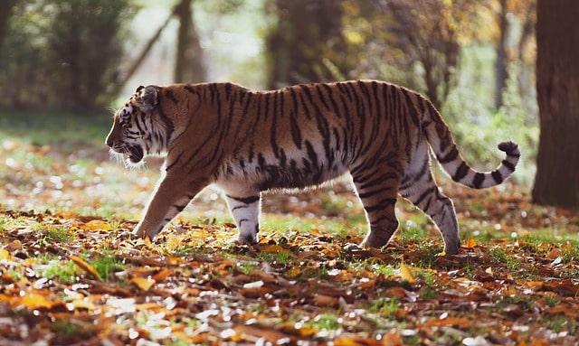 Tigre dell'Amur