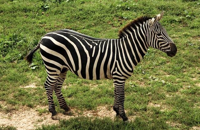 La zebra di Grant