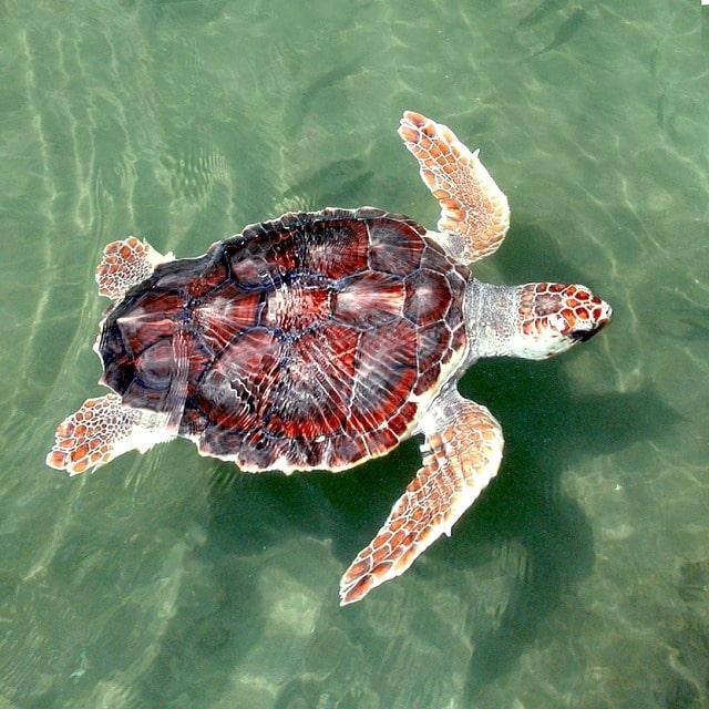 Senza confini: la tartaruga marina Caretta caretta