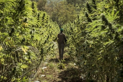 """Terre dI Cannabis"" di Gianluca Marcon"