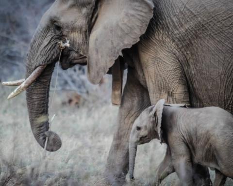 Giornata mondiale dell elefante