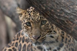 Specie felina decimata deforestazione allevamento agricoltura intensiva