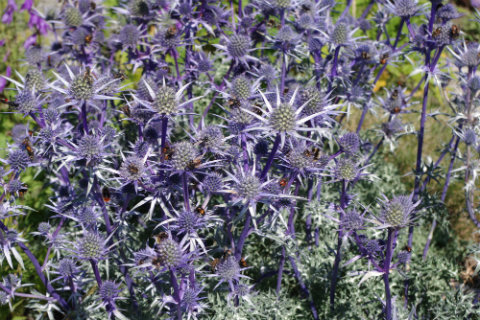 Giardino Alpino Saussurrea