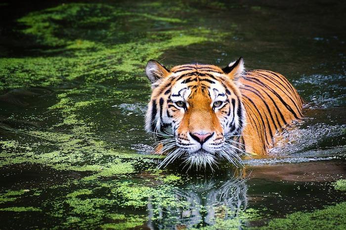 Giornata Mondiale degli Animali tigre
