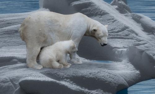 Gli orsi polari sono divenuti un tragico simbolo degli effetti del cambiamento climatico.