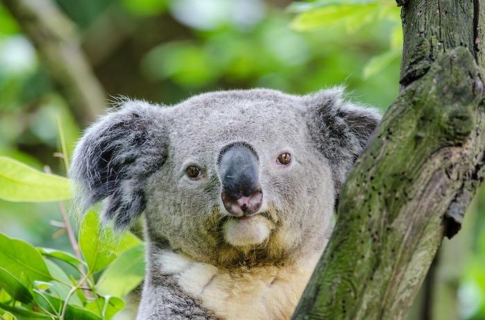 giornata mondiale degli animali koala