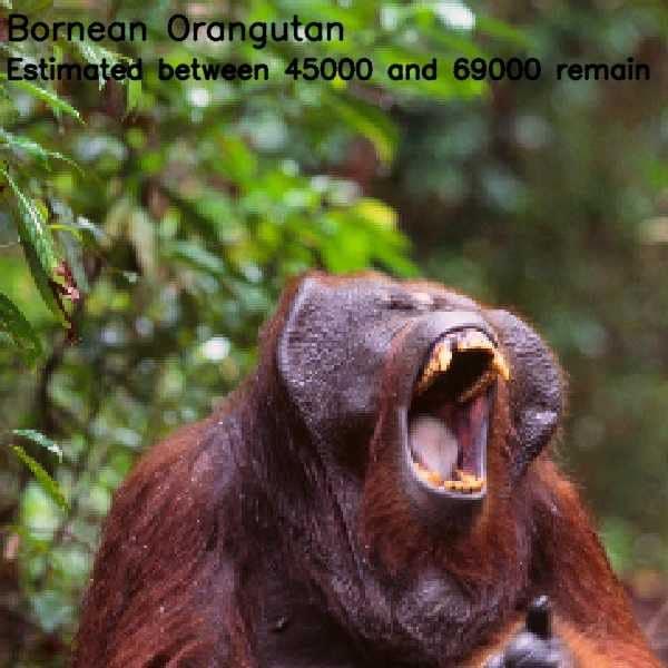 Population by pixel: orangotango del Borneo, un pixel per ogni esemplare rimasto