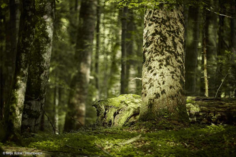 Alberi-nelle-foreste-dei-Carpazi-Romania-Deforestazione-Romania.jpg
