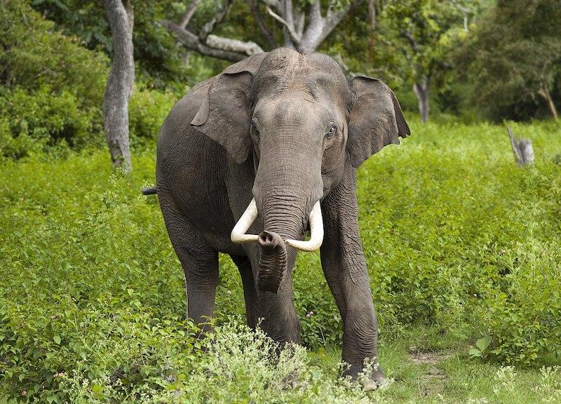 Crimini Ambientali elefante asiatico foto Wikipedia