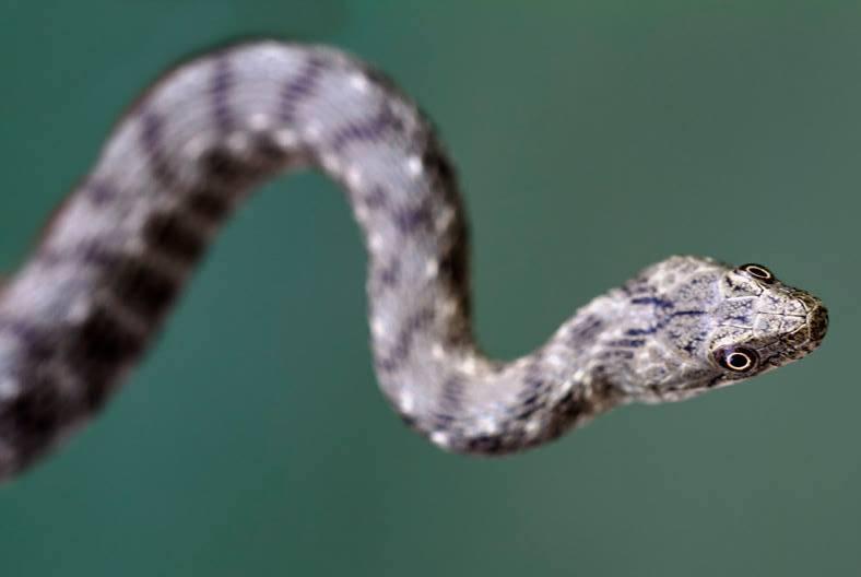 Dice snake (Natrix tessellata) Vjosa River Ph Anton Vorauer