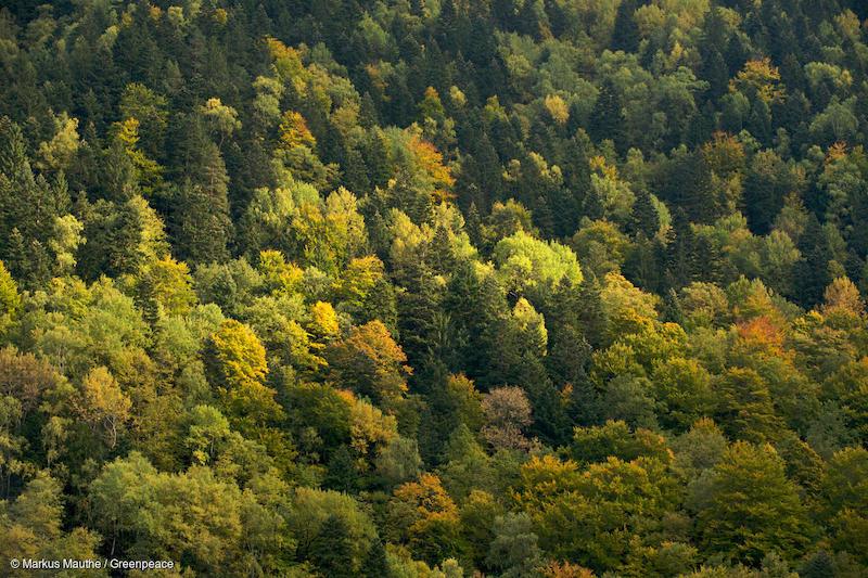 Foresta-nel-nord-della-Romania-Deforestazione-Romania.jpg