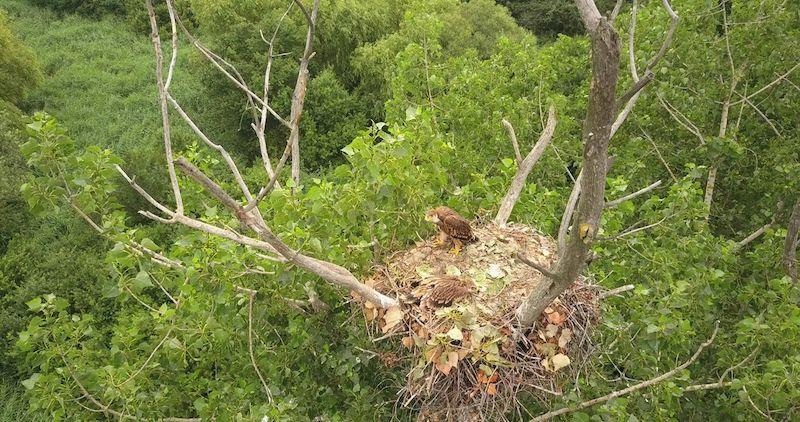 aquila imperiale orientale nido foto PannonEagle