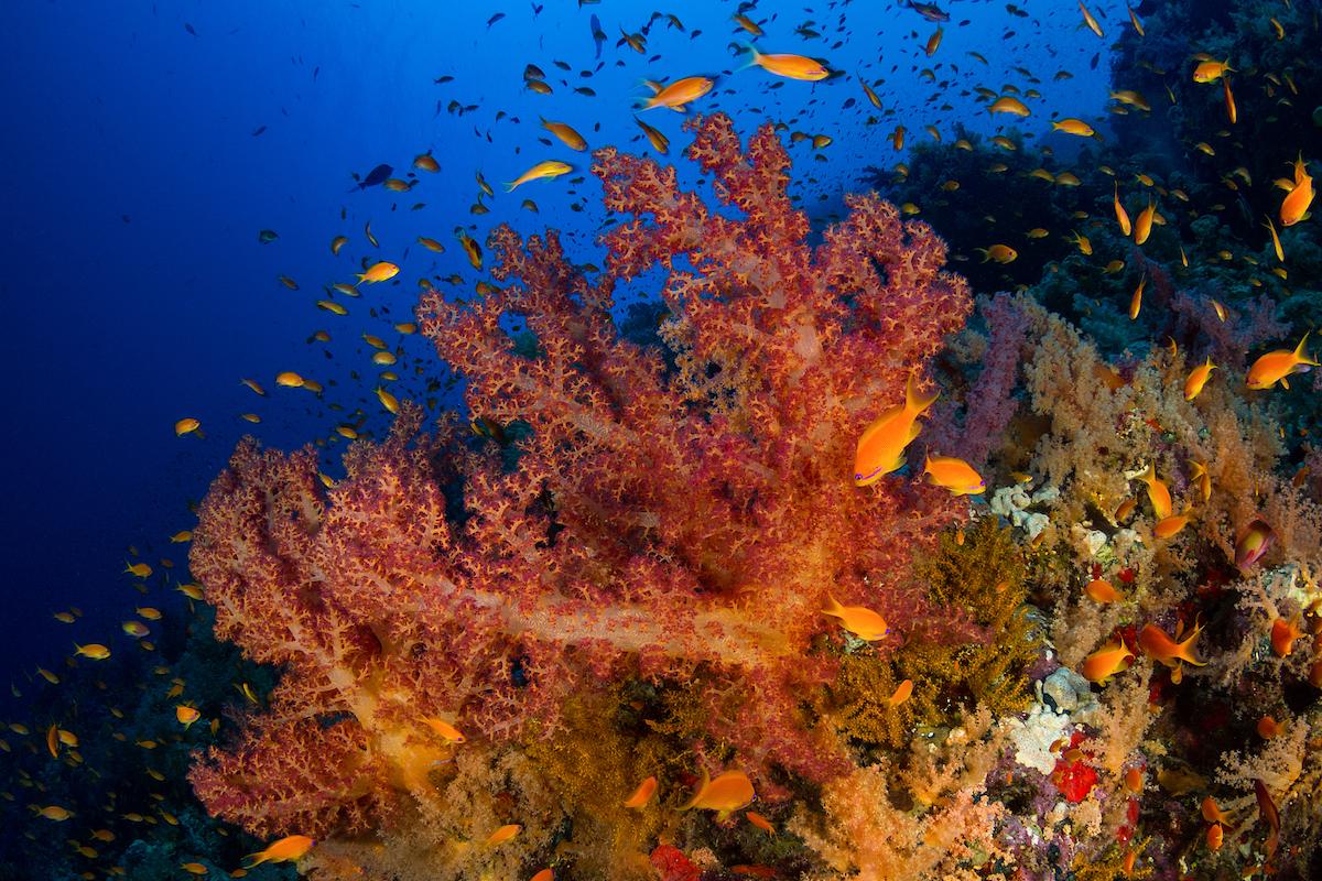coralli-RAS-MOHAMMED-MARINE-PARK-EGYPT-FabriceDudenhofer_02.jpg