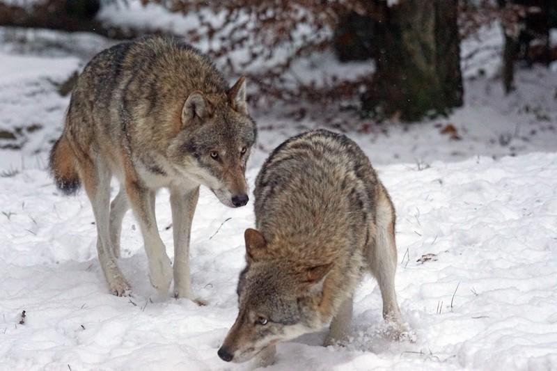 La grande diffusione dei toponimi legati a orsi e lupi in Italia dimostra comunque il valore culturale di queste specie nel nostro Paese