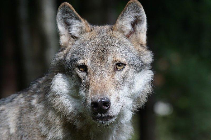 Oltre l'11% dei toponimi italiani legati al lupo ha un'accezione negativa