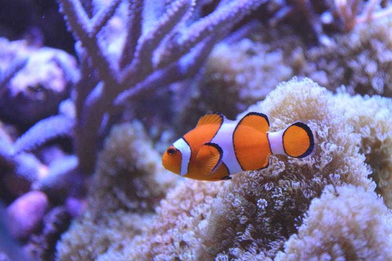 Nemo rischia l'estinzione: il pesce pagliaccio non si adatta ai cambiamenti climatici