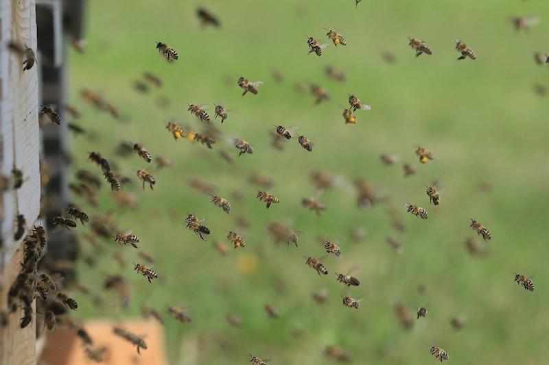 api in volo verso alveare
