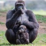 Coronavirus e Grandi Primati sopravvivenza