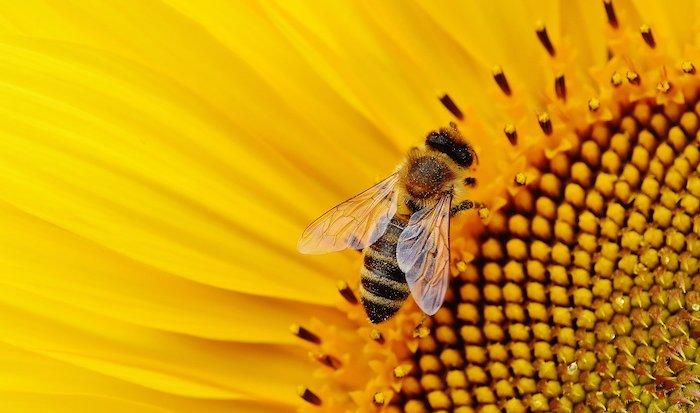 api in città ape su girasole giallo