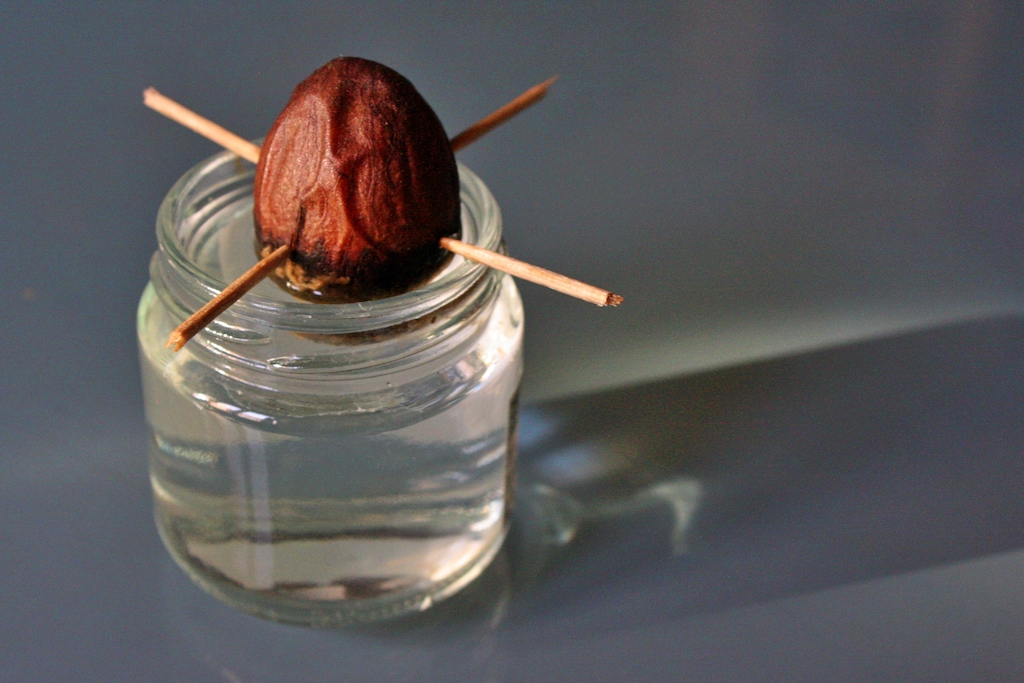 Far germogliare un seme di avocado, fase 1