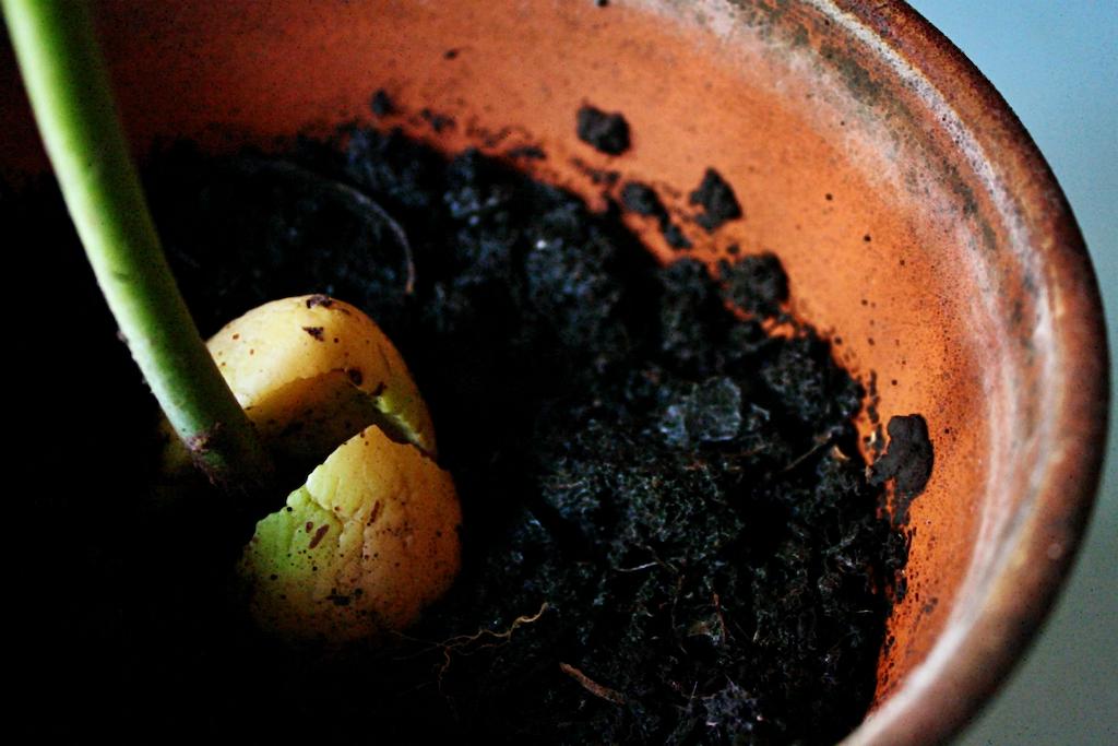 avocado-pianta-dal-seme