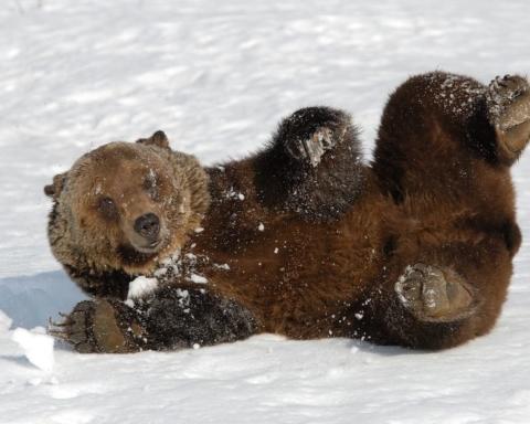 Orso che si risveglia dal letargo Boo Grizzly Canada
