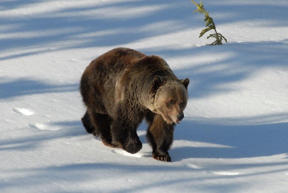 Orso che si risveglia dal letargo | Il Grizzly Boo fa una passeggiata (foto di Larry Tooze)