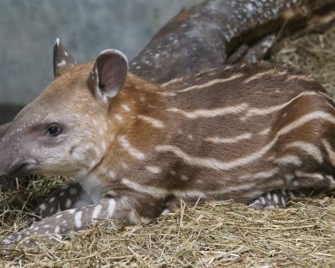 giornata mondiale del tapiro
