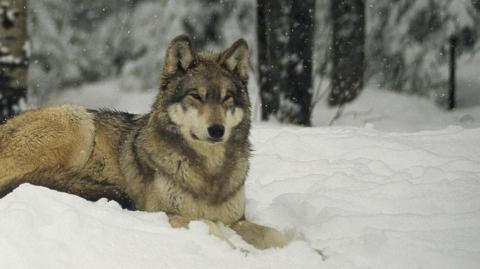 -Marche avec les loups-1-