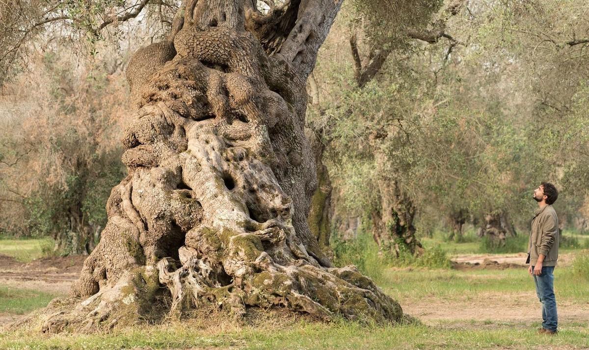 Heartwood ulivo Puglia Xylella