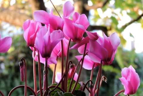 Il ciclamino, il fiore adatto per dare colore al proprio balcone in inverno