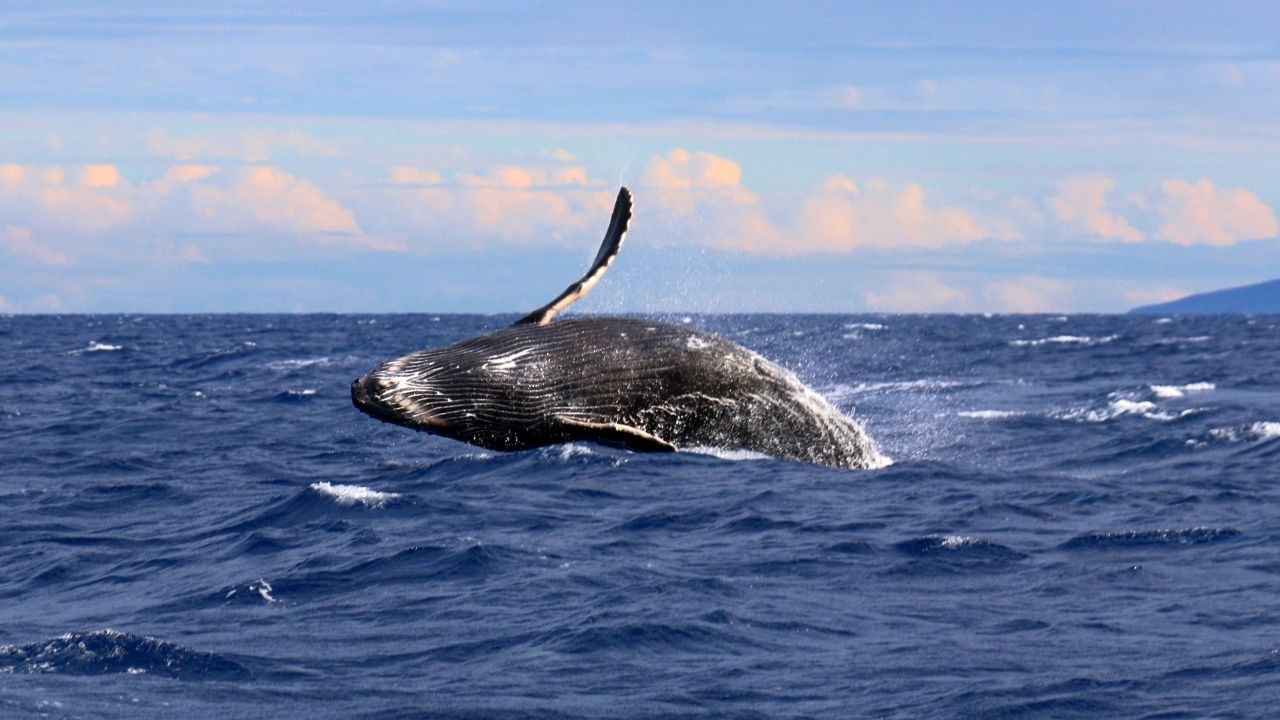 Nuova popolazione di balenottere azzurre