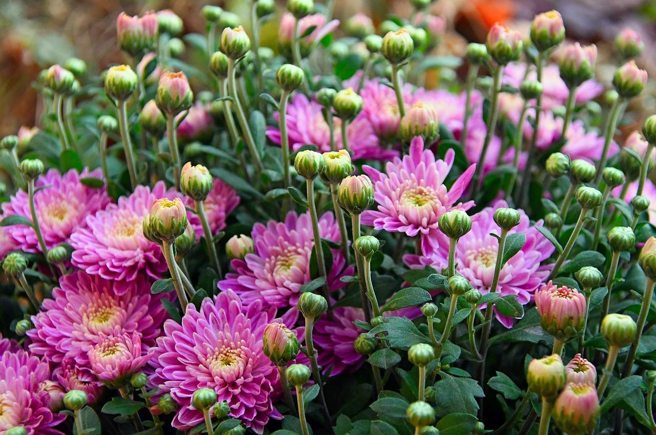 Crisantemi per purificare l'aria