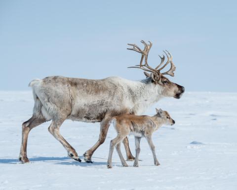 ponti per le renne svedesi