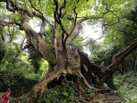 Albero dell'anno | Platano di Curinga