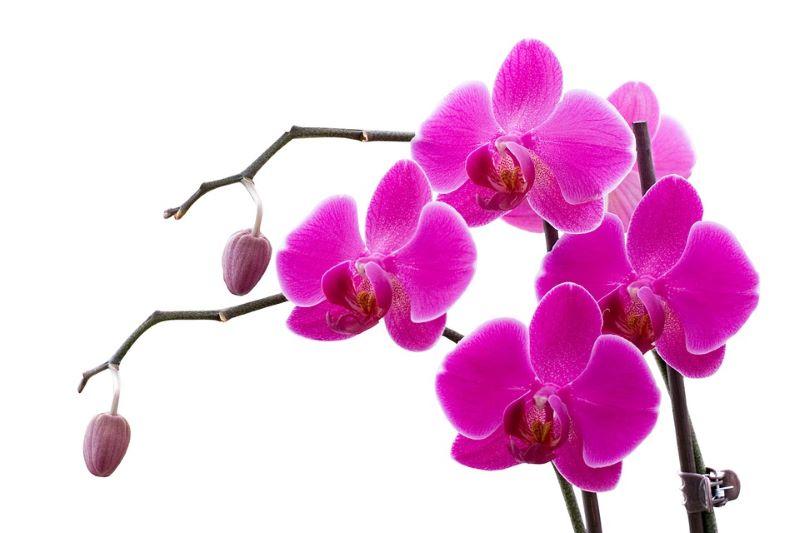 orchidea perfetta