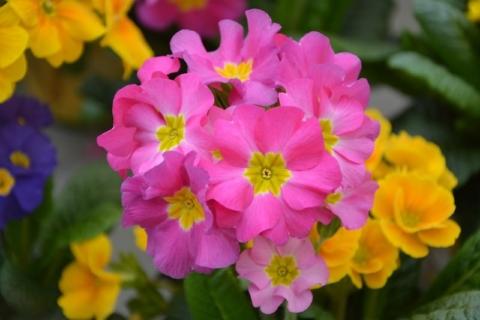 La primula, il fiore della primavera e della giovinezza