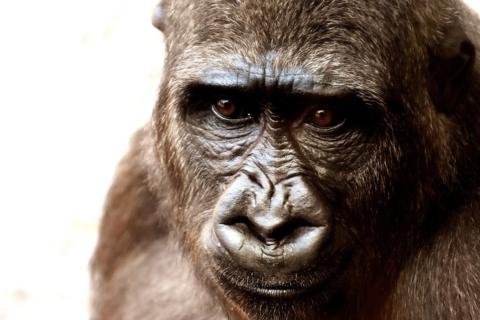 La scimmia che ha capito l'universo
