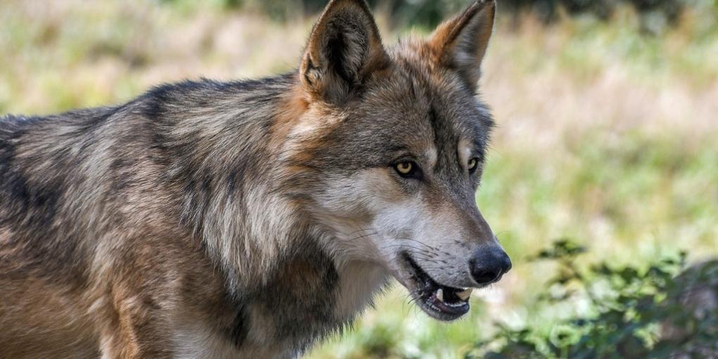 La Spagna vieta la caccia al lupo