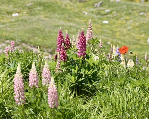 Piante alpine a rischio estinzione