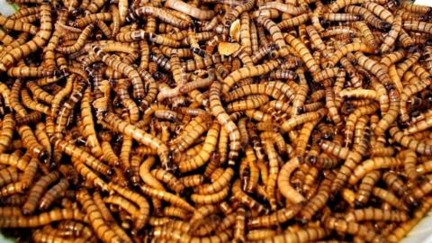Larve di tarme della farina