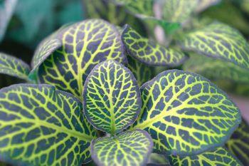 Fittonia, pianta da bagno